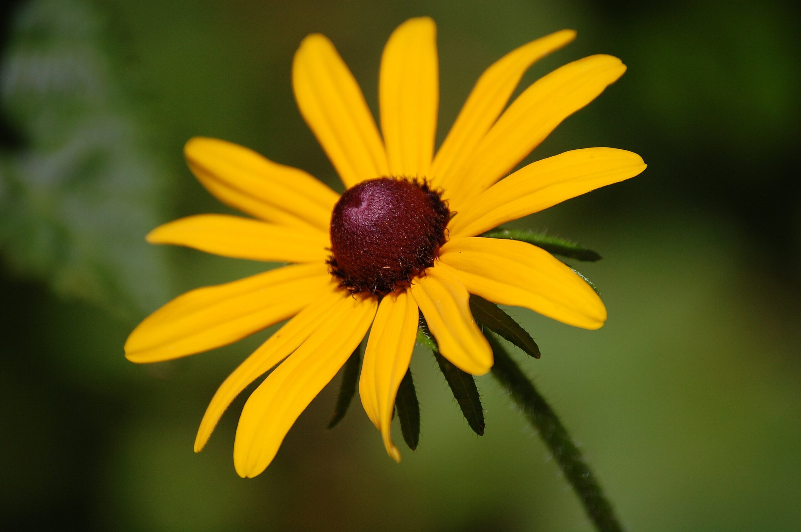 Home garden month with original host of hgtv s Black eyed susans